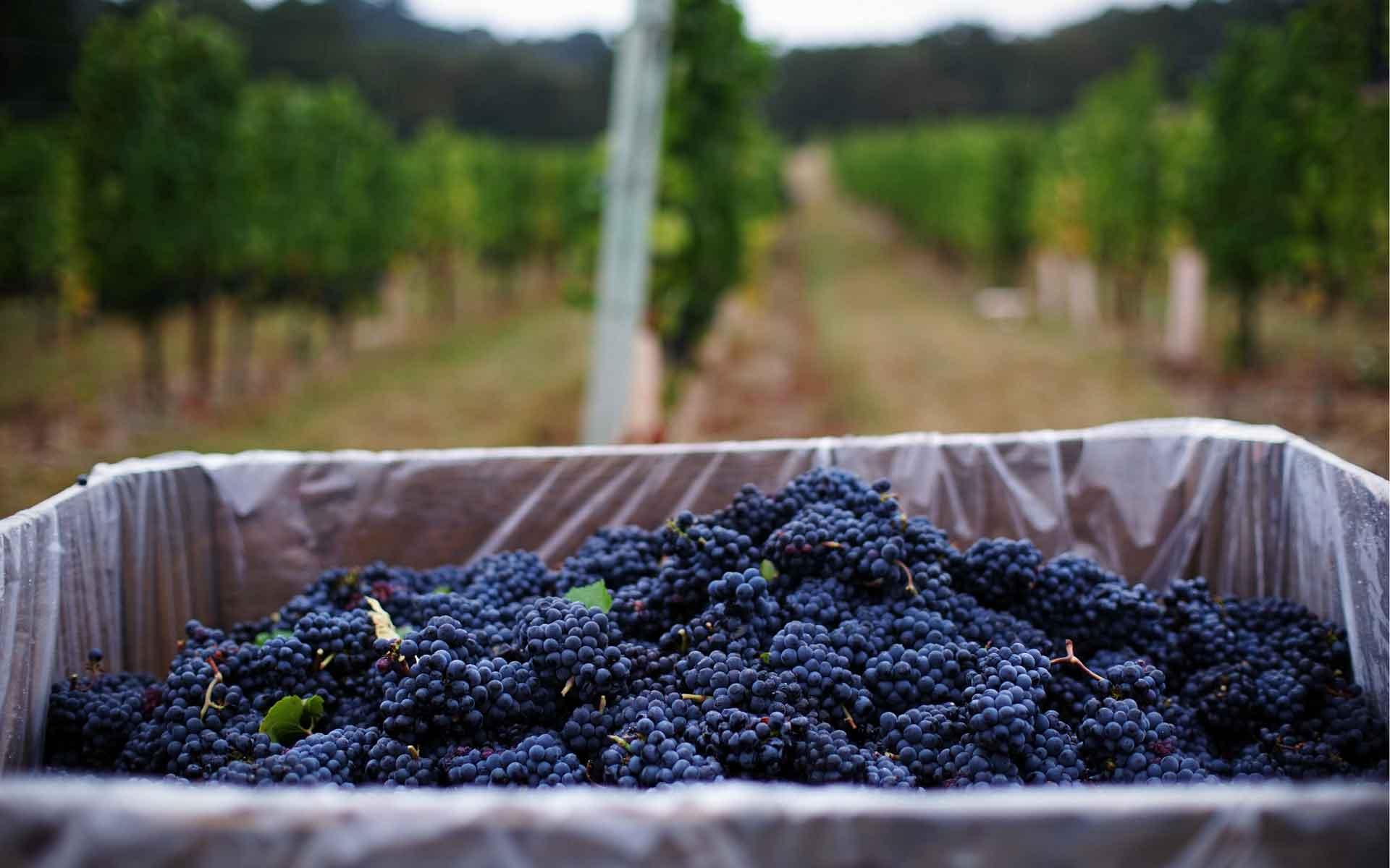 Aus diesen blauen Pinot Noir-Trauben wird Rotwein hergestellt. (Foto: Jim Fischer / Flickr)